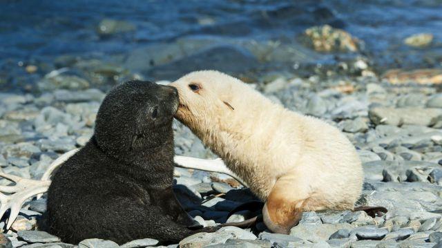南佐治亚州财神湾,正在亲吻的一对南极海狗