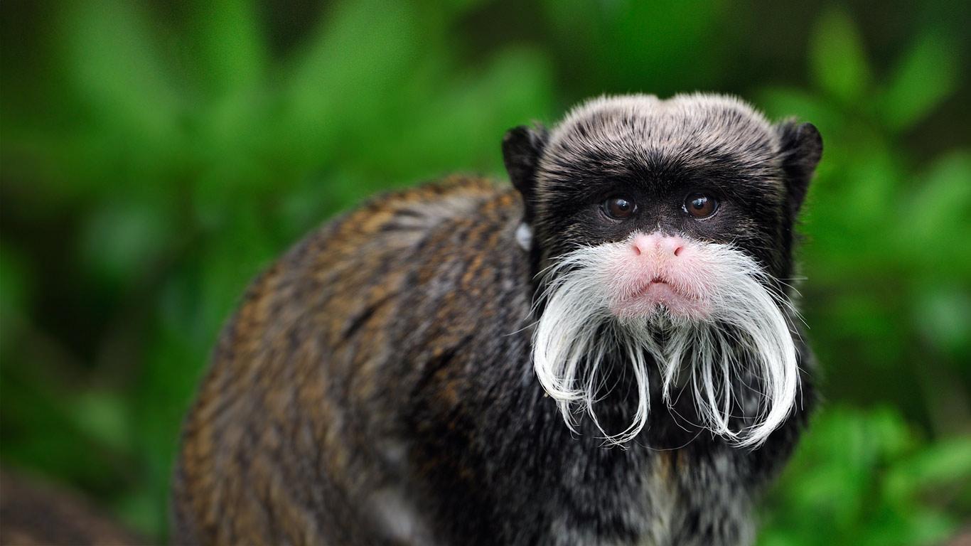 秘鲁玛努国家公园中的皇狨猴