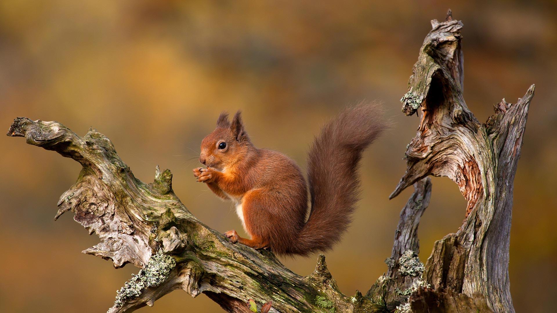 凯恩戈姆山脉中的欧亚红松鼠,苏格兰高地