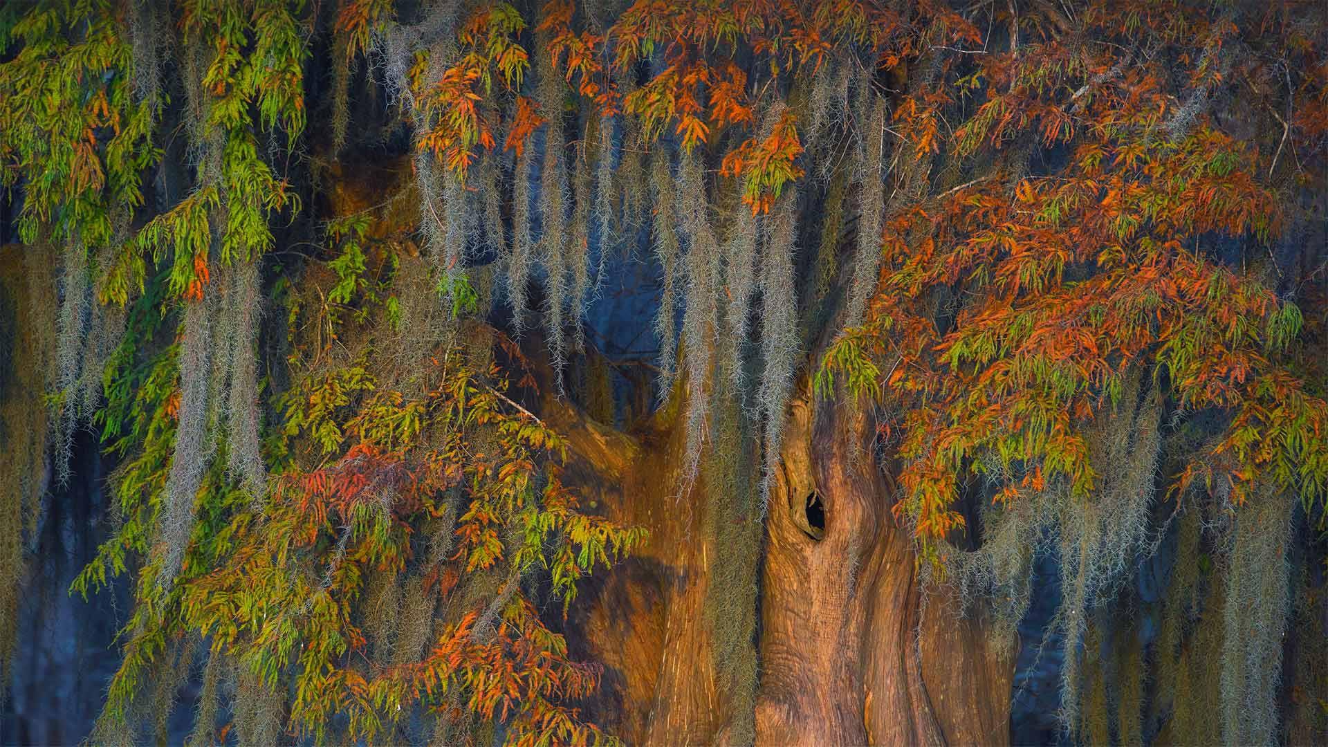 阿查法拉亚盆地的秃柏和西班牙苔藓,路易斯安那州